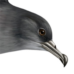 Sooty Shearwater Head Illustration