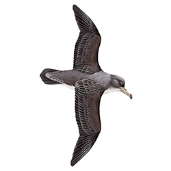 Cory's Shearwater Flight Illustration