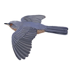 Dartford Warbler Flight Illustration.jpg