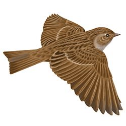Dunnock Flight Illustration