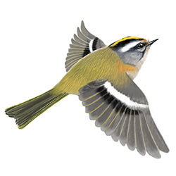 Firecrest Flight Illustration