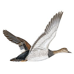 Gadwall Flight Illustration
