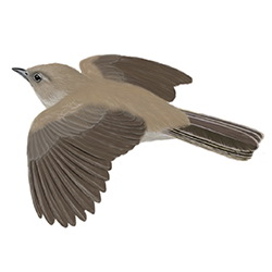 Garden Warbler Flight Illustration