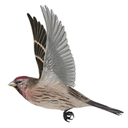 Lesser Redpoll Flight Illustration