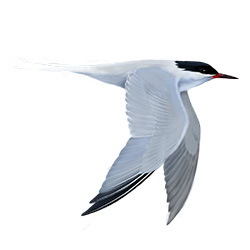 Roseate Tern Flight Illustration.jpg