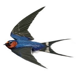 Swallow Flight Illustration