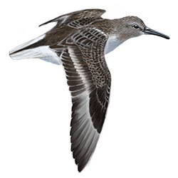 Temminck's Stint Flight Illustration