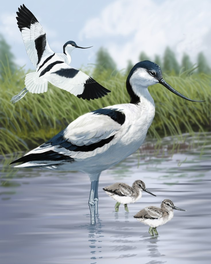 Avocet Portrait