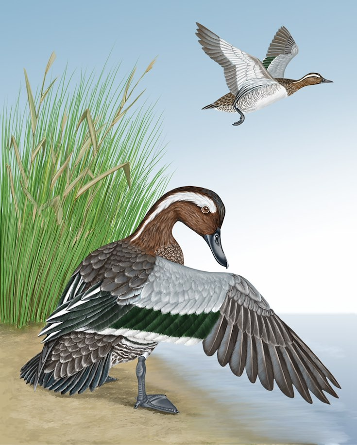 Garganey Portrait