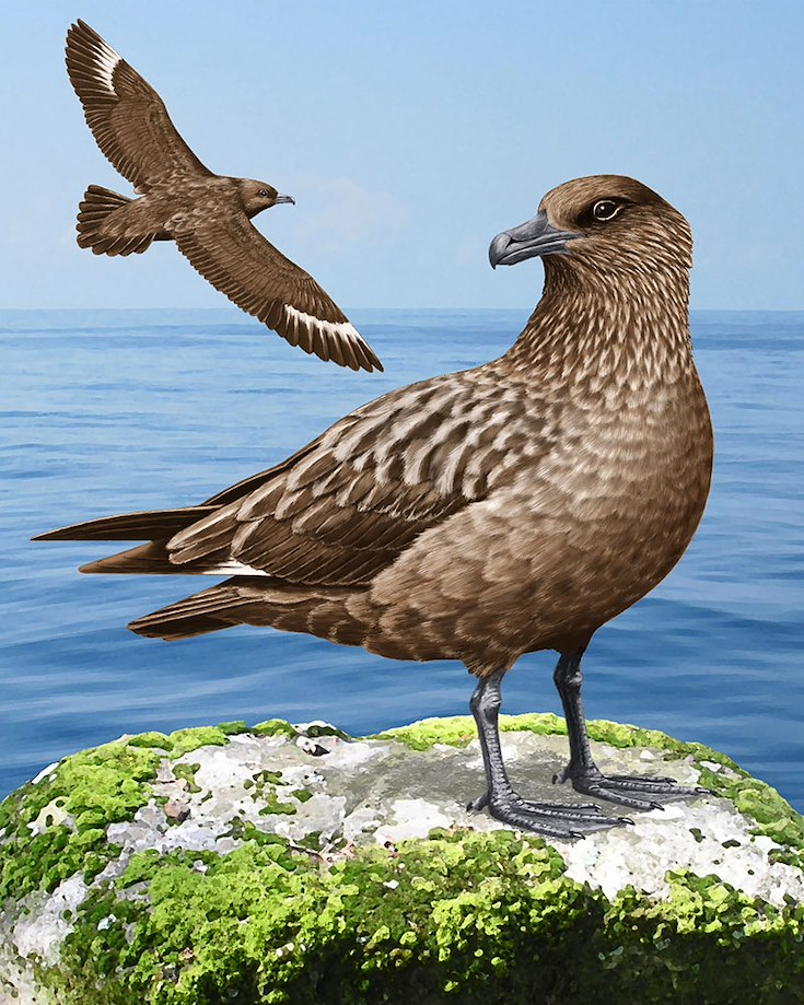 Great Skua Portrait