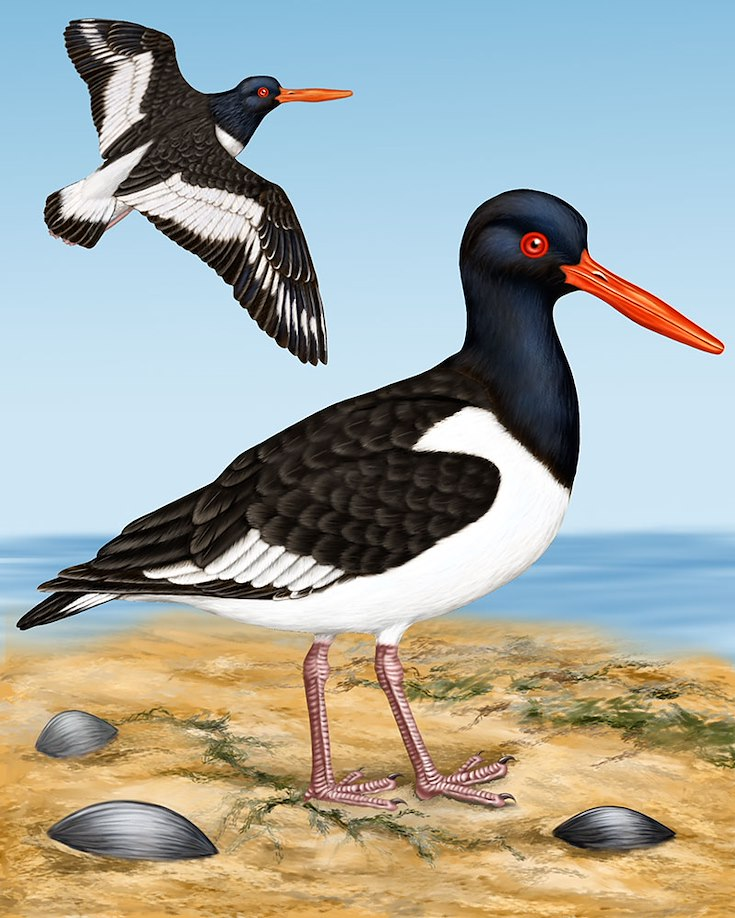 Oystercatcher Portrait