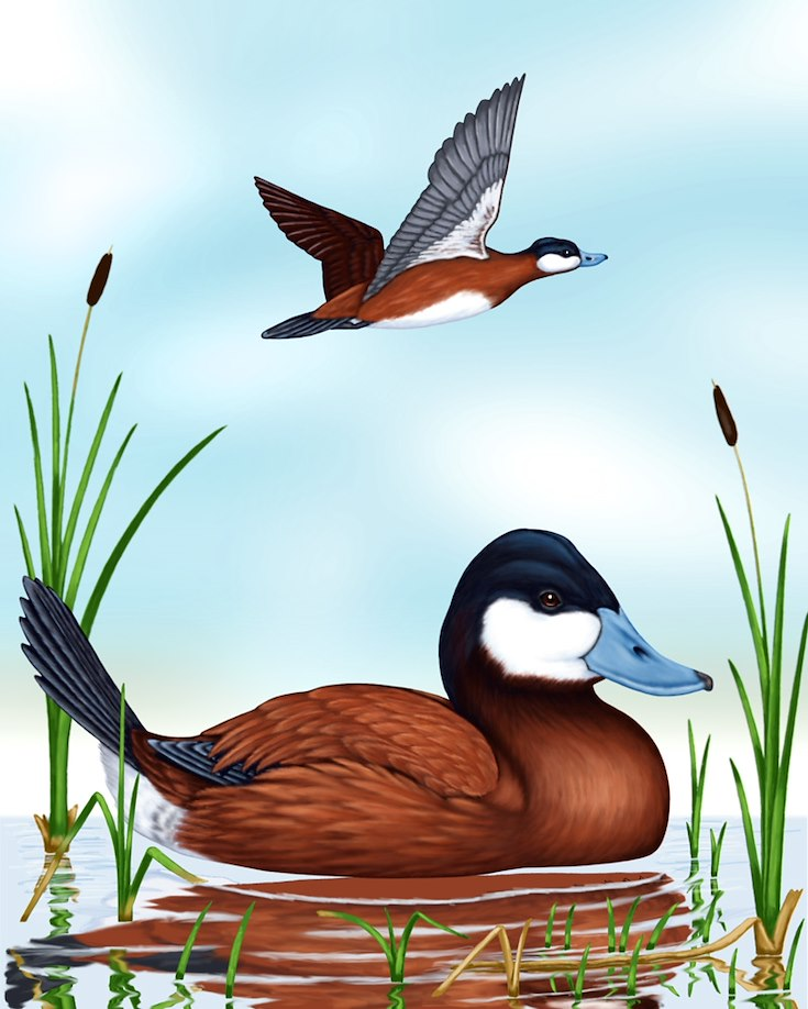 Ruddy Duck Portrait
