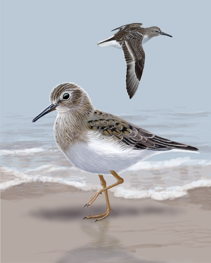Temminck's Stint Portrait