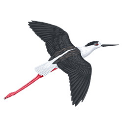 Black-winged Stilt Flight Illustration