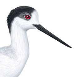 Black-winged Stilt Head Illustration