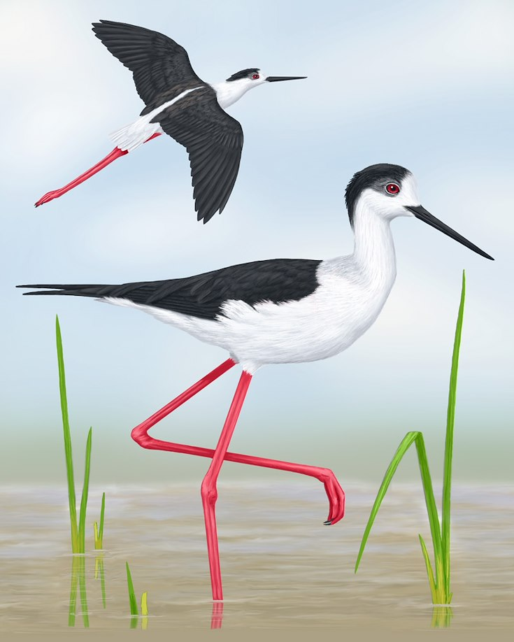 Black-winged Stilt Portrait
