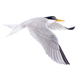 Little Tern Flight Illustration.jpg