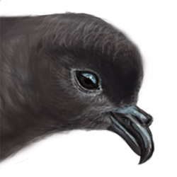 Storm Petrel Head Illustration
