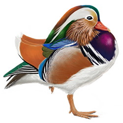 Mandarin Duck Body Illustration