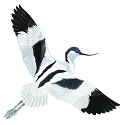 Avocet Flight Illustration