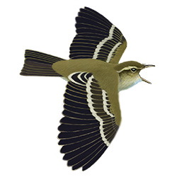 Yellow-browed Warbler Flight Illustration