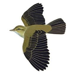 Wood Warbler Flight Illustration