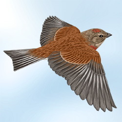 Linnet Flight Illustration