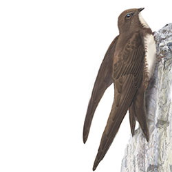Alpine Swift Body Illustration