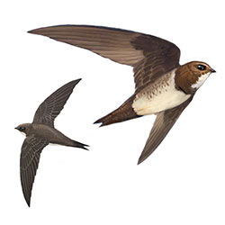 Alpine Swift Flight Illustration