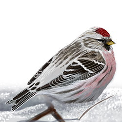Arctic Redpoll Body Illustration