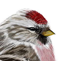 Arctic Redpoll Head Illustration