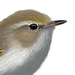 Western Bonelli's Warbler Head Illustration