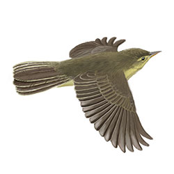Melodious Warbler Flight Illustration.jpg