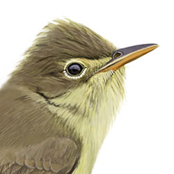 Melodious Warbler Head Illustration.jpg