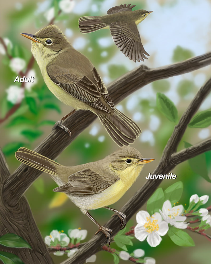 Melodious Warbler Portrait.jpg