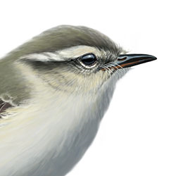 Hume's Warbler Head Illustration.jpg