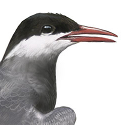 Whiskered Tern Head Illustration.jpg