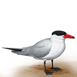 Caspian Tern Body Illustration.jpg