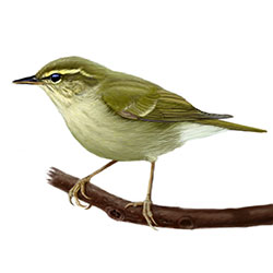 Arctic Warbler Body Illustration.jpg