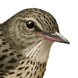 Lanceolated Warbler Head Illustration.jpg