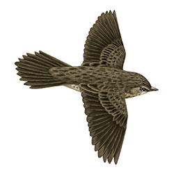 Lanceolated Warbler Flight Illustration.jpg