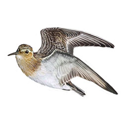 Baird's Sandpiper Flight Illustration.jpg