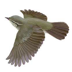 Arctic Warbler Flight Illustration.jpg
