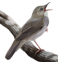 River Warbler Body Illustration.jpg