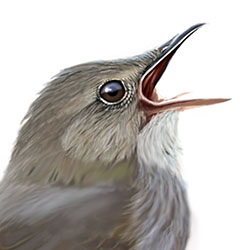 River Warbler Head Illustration.jpg