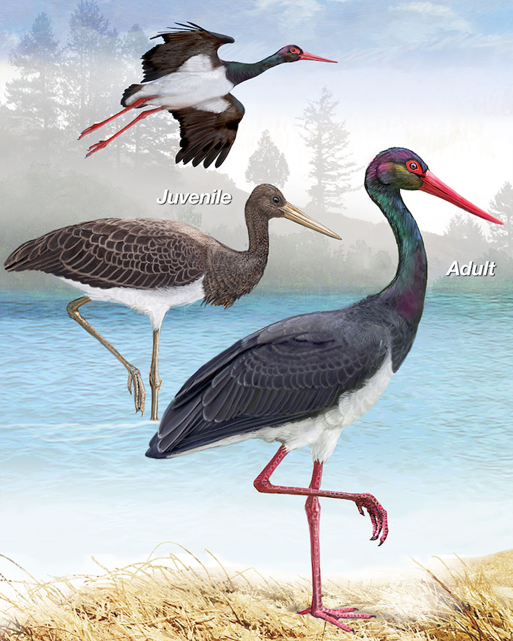 Black Stork Portrait.jpg