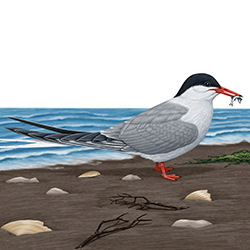 Common Tern Body Illustration