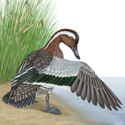 Garganey Body Illustration