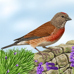 Linnet Body Illustration