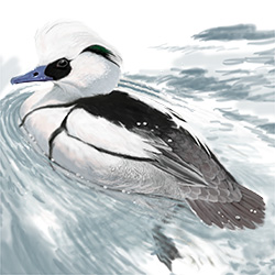 Smew Body Illustration